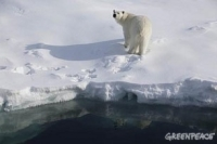 oso polar - Greenpeace